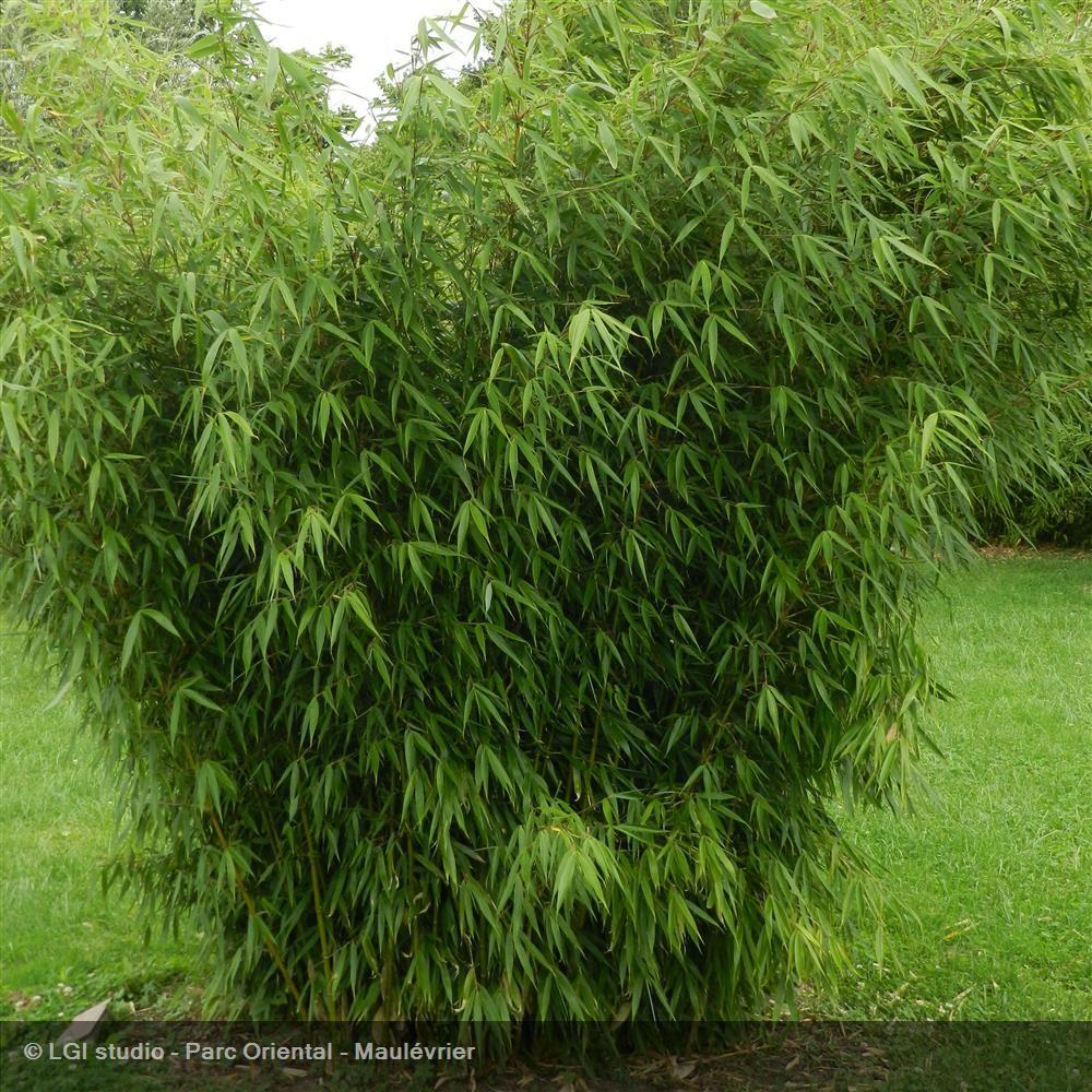 Haie de bambou fargesia le bambou fargesia peut atteindre - Bambou non tracant a croissance rapide ...