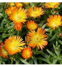 DELOSPERMA cooperi Orange wonder