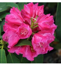 Rhododendron 'Val d'Aulnay'