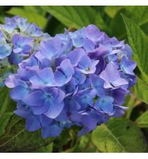 Hortensia macrophylla 'Endless Summer'® The Original