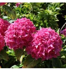 Hortensia macrophylla 'Tovelit'
