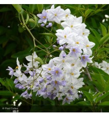Solanum jasminoides Bleu
