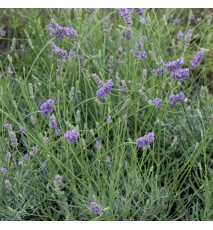 LAVANDE angustifolia