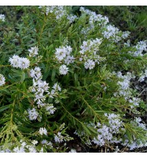 HEBE Diosmifolia