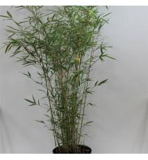 FARGESIA robusta campbell Non traçant
