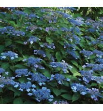 HORTENSIA serrata Magic seduction ® annie's blue