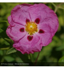 CISTUS purpureus Betty taudevin