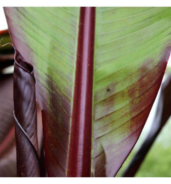 bananier maurelii - pépinières le loupp